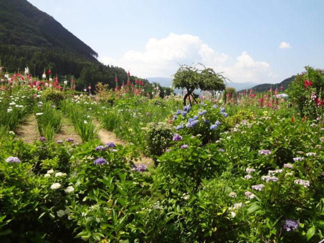 あじさいの他にも花しょうぶや立葵がたくさん咲いていました。